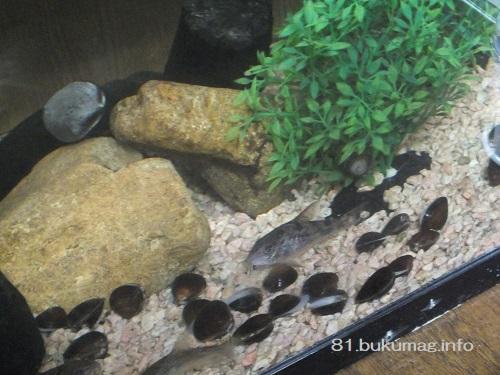 コリドラス,水槽,シジミ,水質改善